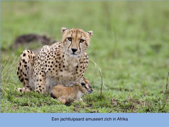 Een jachtluipaard amuseert zich in Afrika