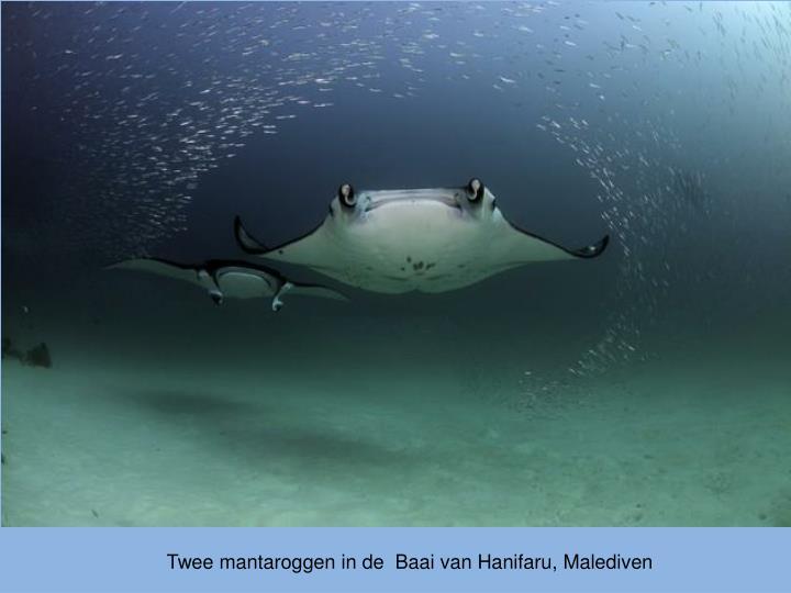 Twee mantaroggen in de  Baai van Hanifaru, Malediven