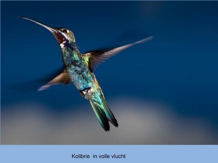 Kolibrie  in volle vlucht