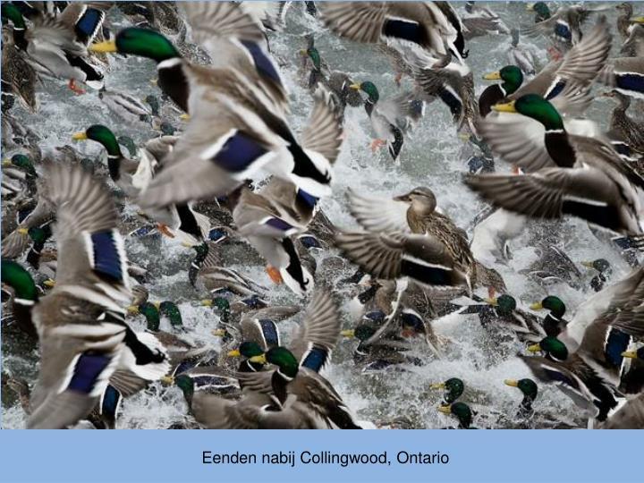 Eenden nabij Collingwood, Ontario