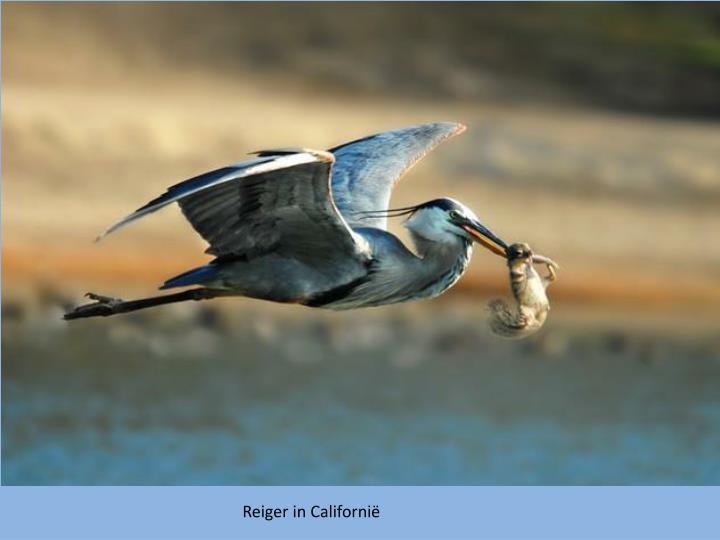 Reiger in Californië
