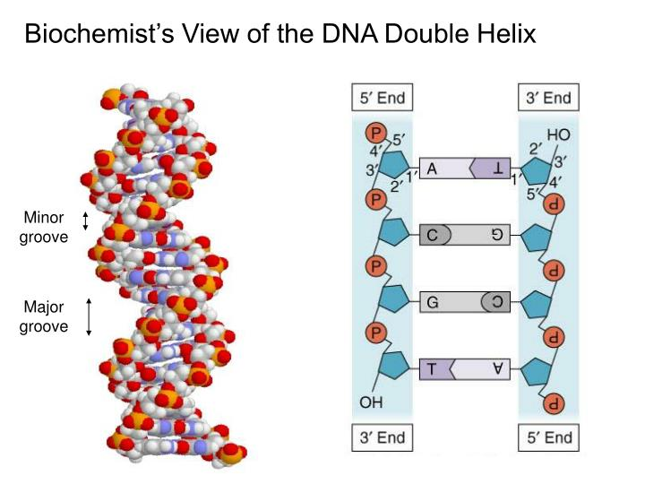Biochemist's View of the DNA Double Helix