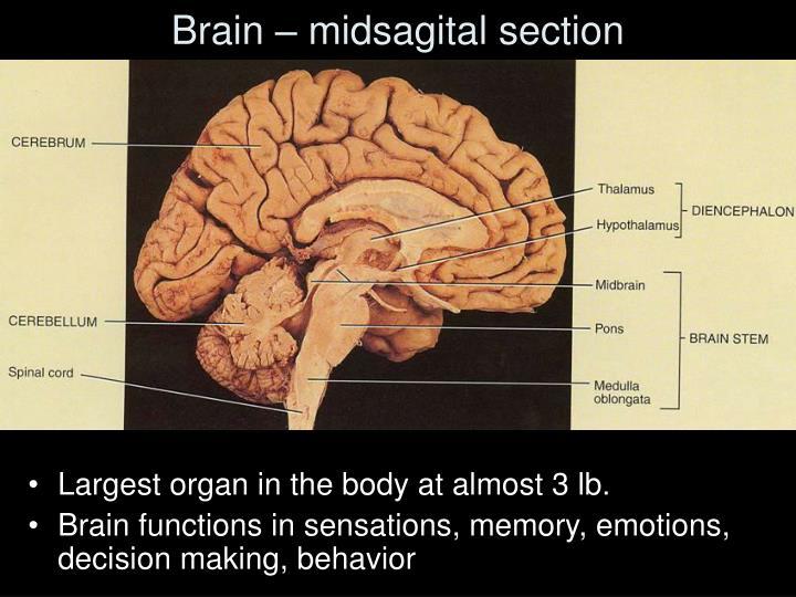 Brain – midsagital section