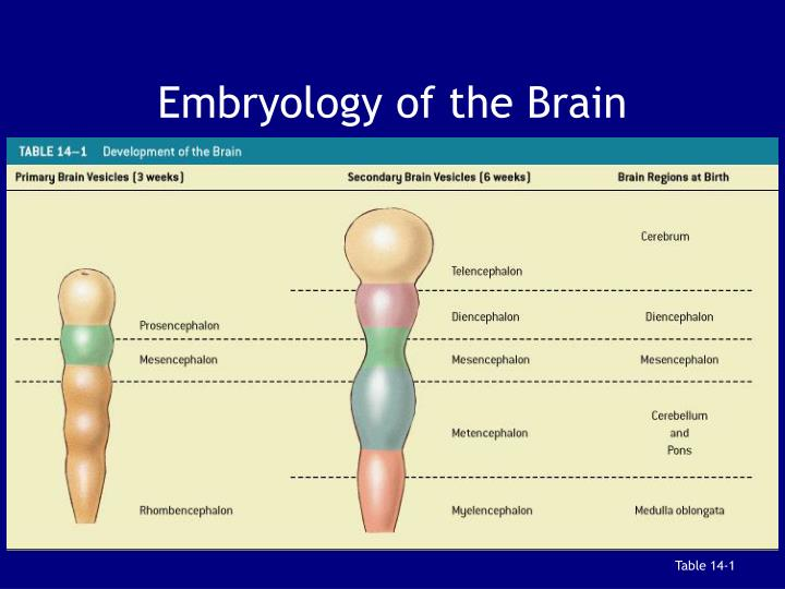 Embryology of the Brain