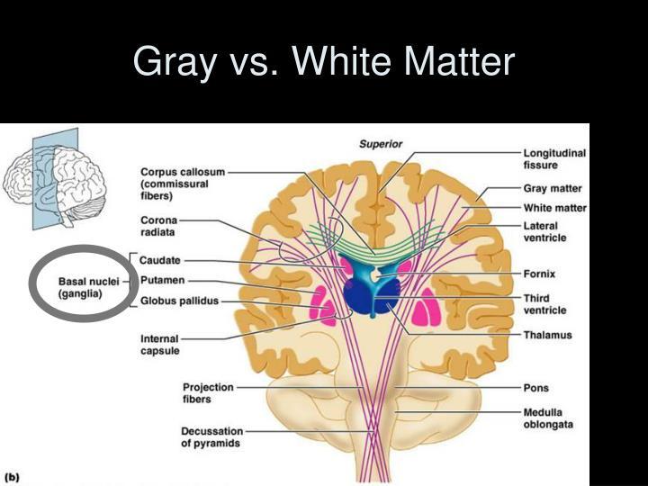 Gray vs. White Matter