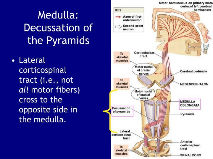 Medulla: