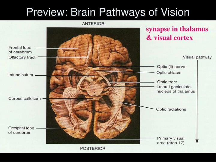synapse in thalamus & visual cortex