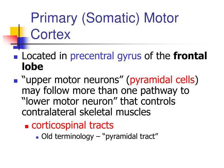 Primary (Somatic) Motor Cortex