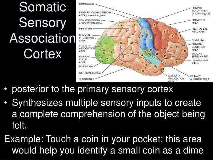 Somatic Sensory