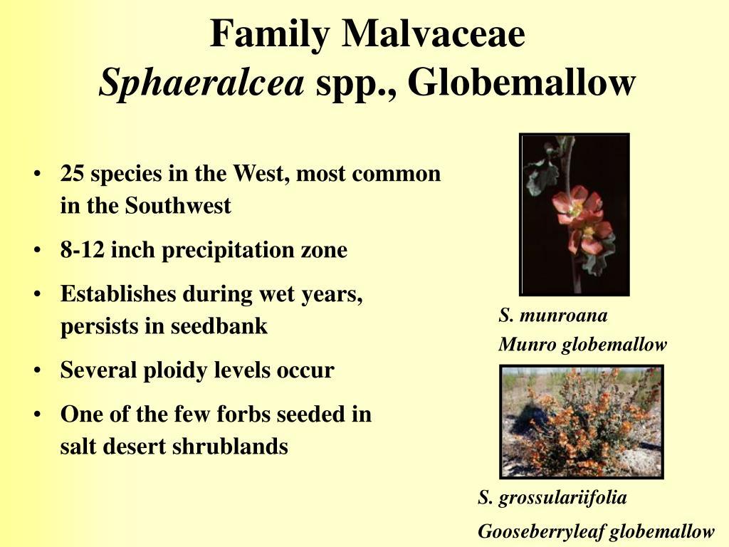 Family Malvaceae