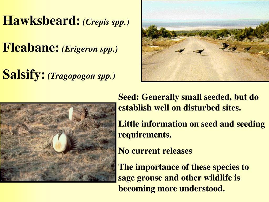 Hawksbeard:
