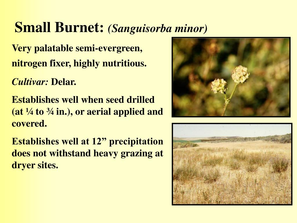 Small Burnet:
