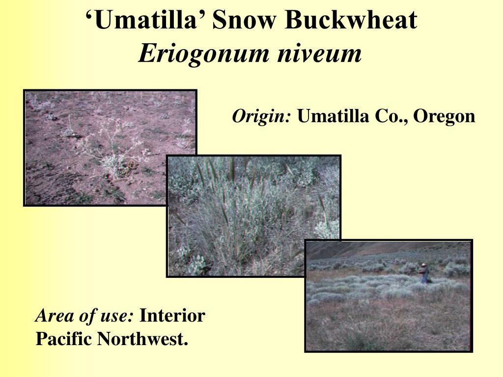 'Umatilla' Snow Buckwheat