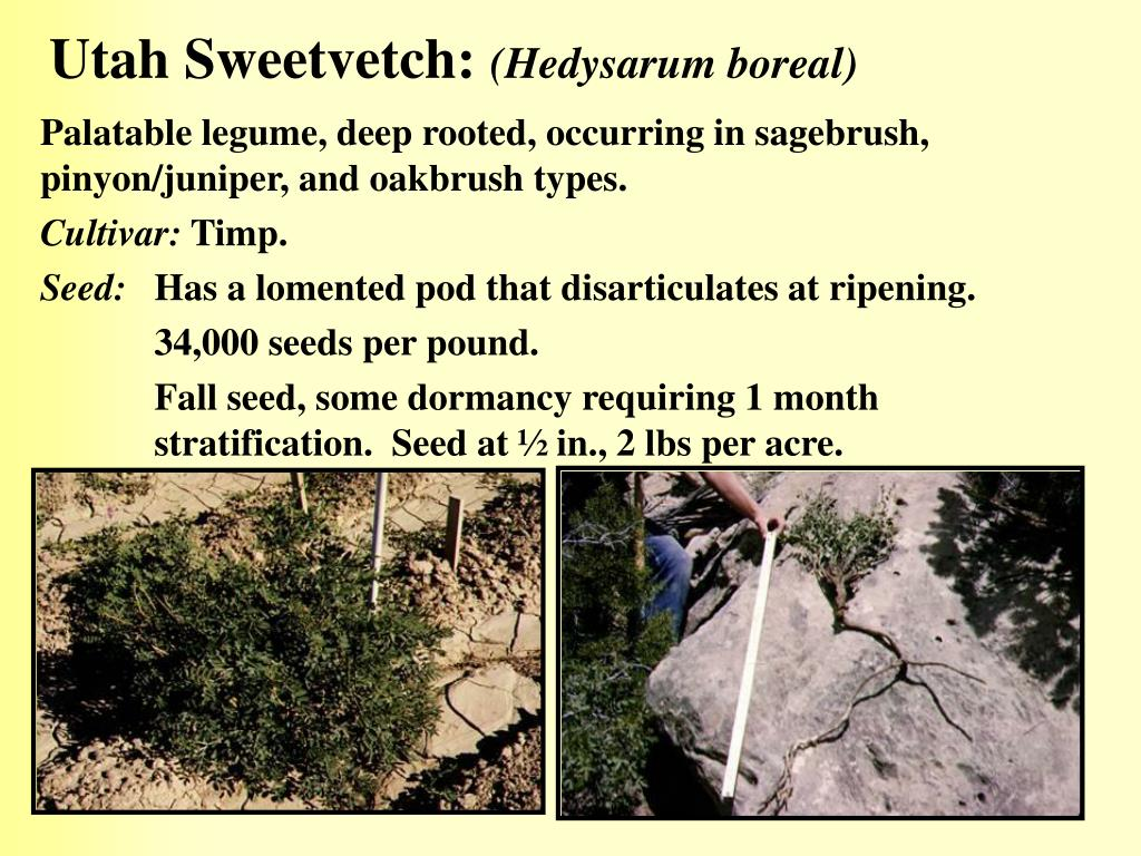 Utah Sweetvetch: