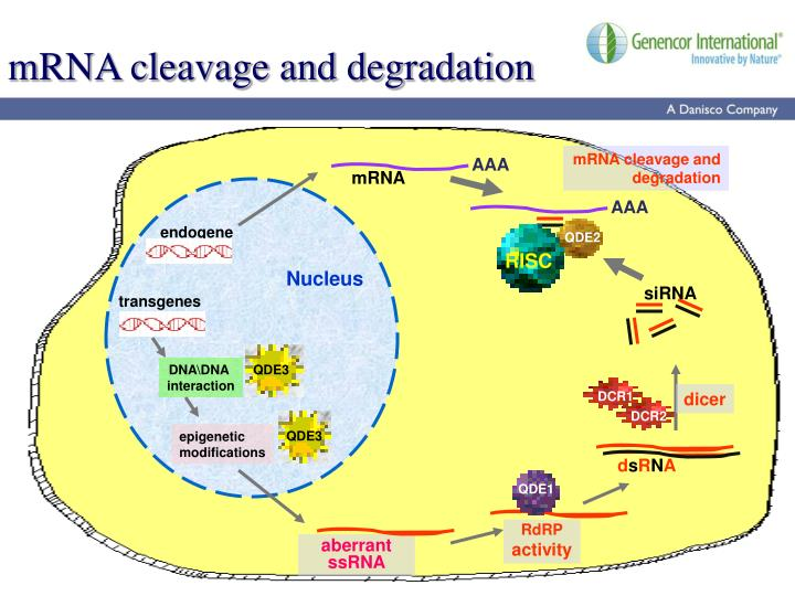 Mrna cleavage and degradation