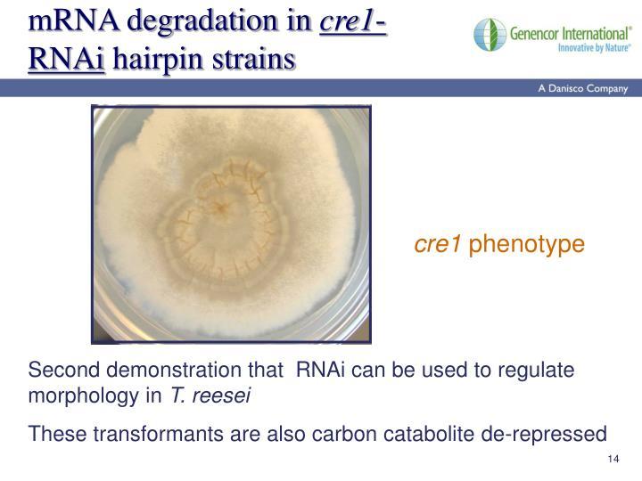 mRNA degradation in