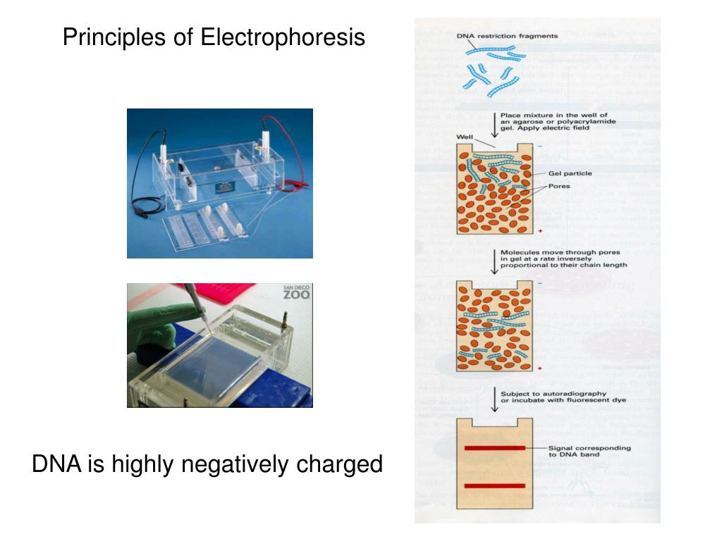 Principles of Electrophoresis