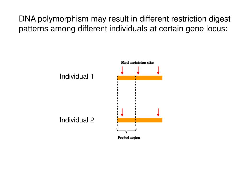 DNA polymorphism may result in different restriction digest