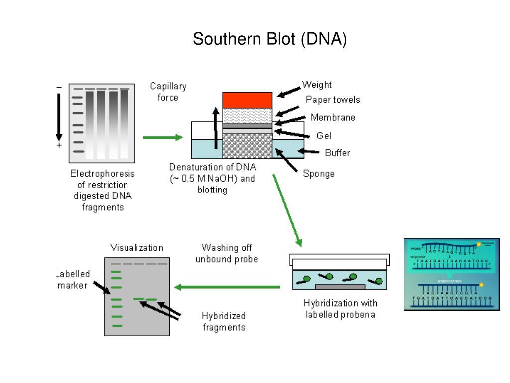 Southern Blot (DNA)