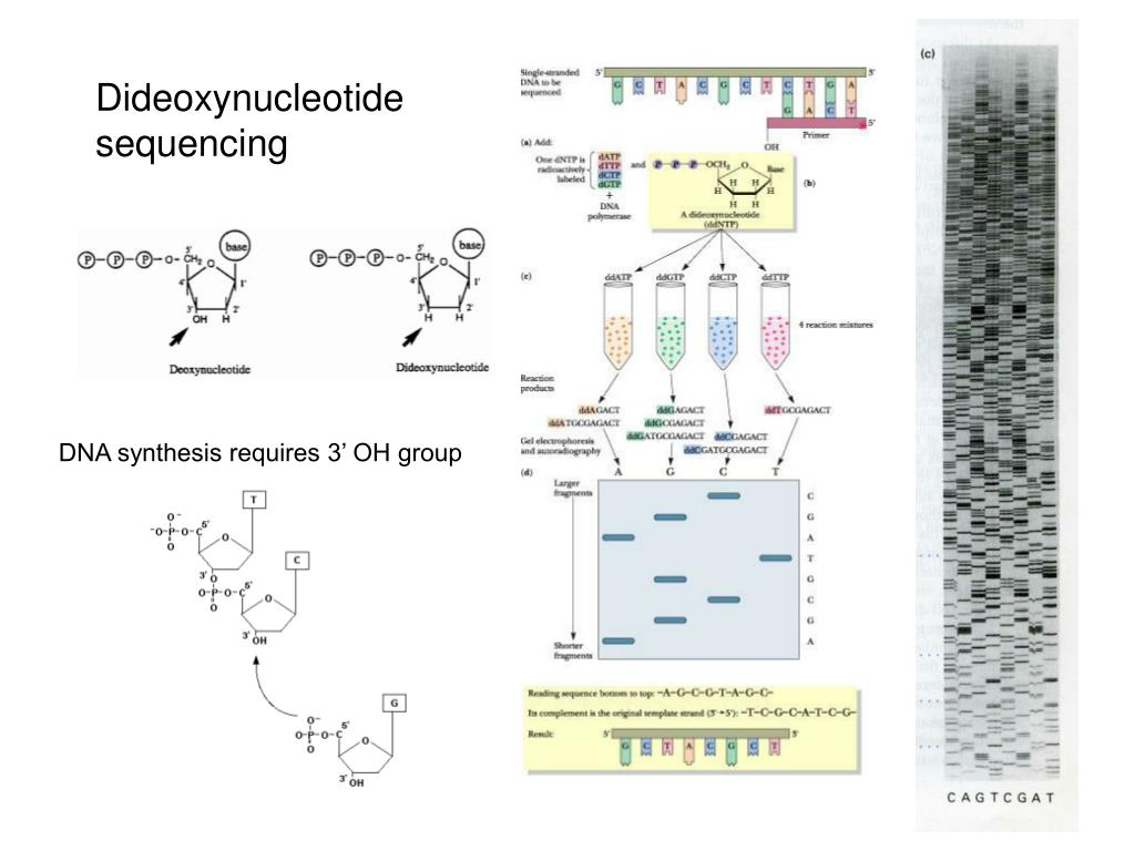 Dideoxynucleotide