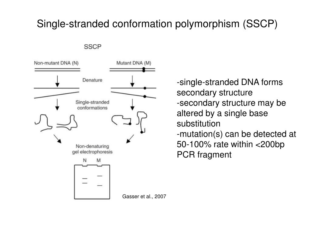 Single-stranded conformation polymorphism (SSCP)