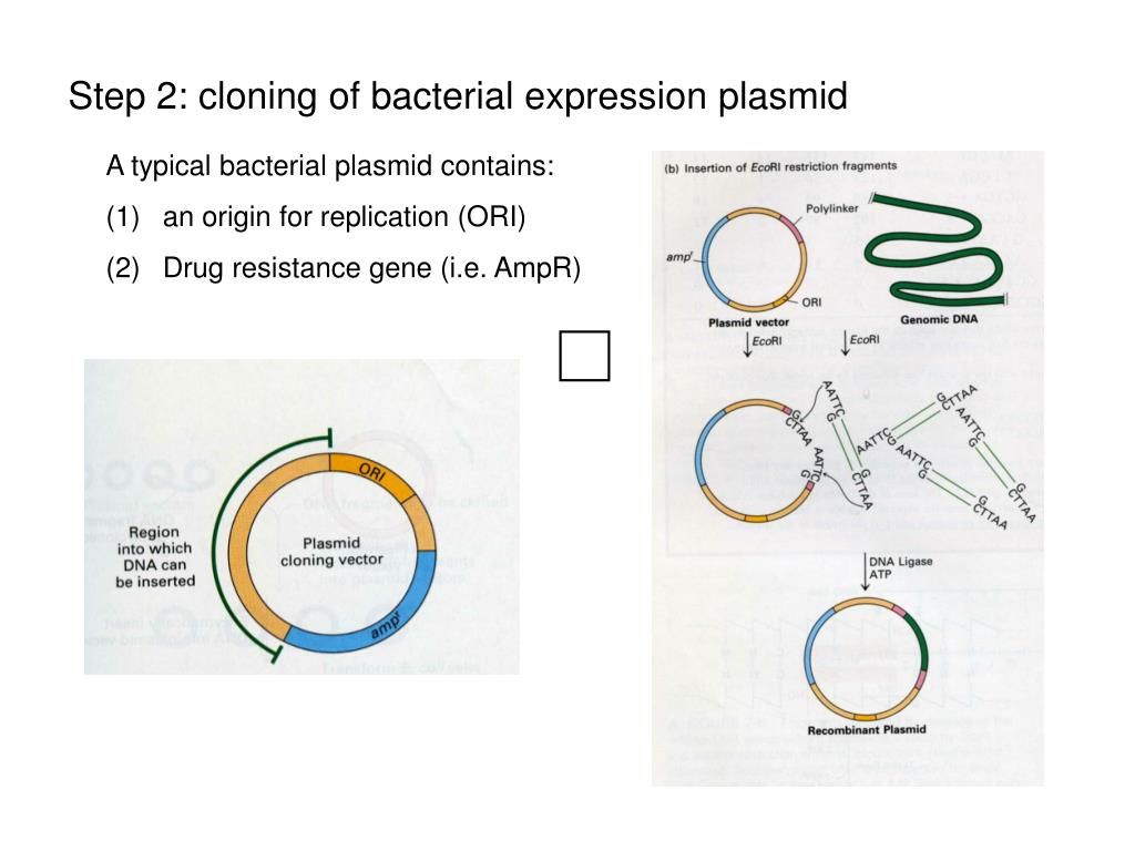Step 2: cloning of bacterial expression plasmid