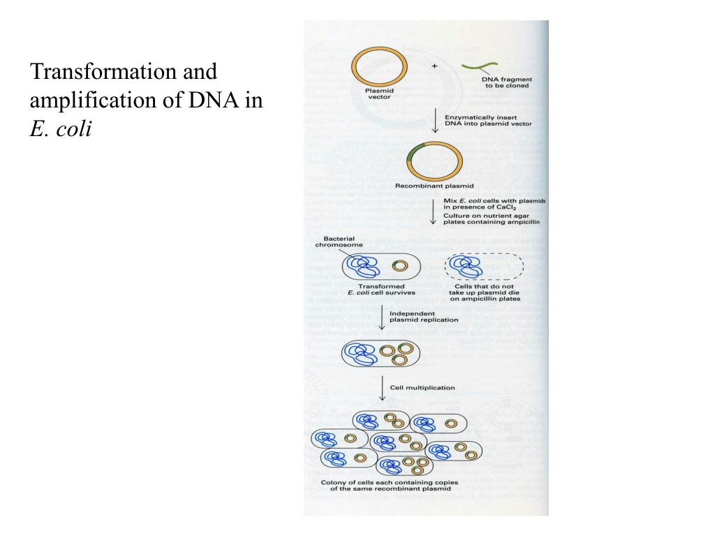 Transformation and amplification of DNA in