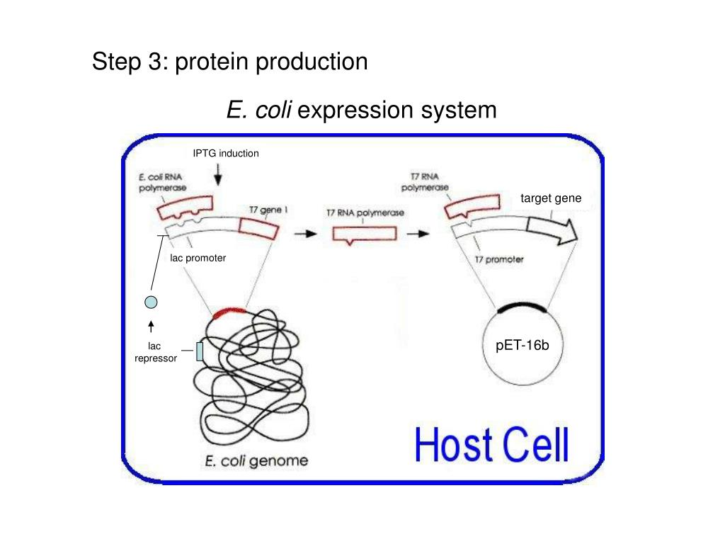 Step 3: protein production