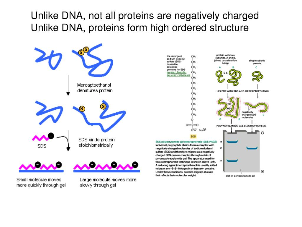 Unlike DNA, not all proteins are negatively charged