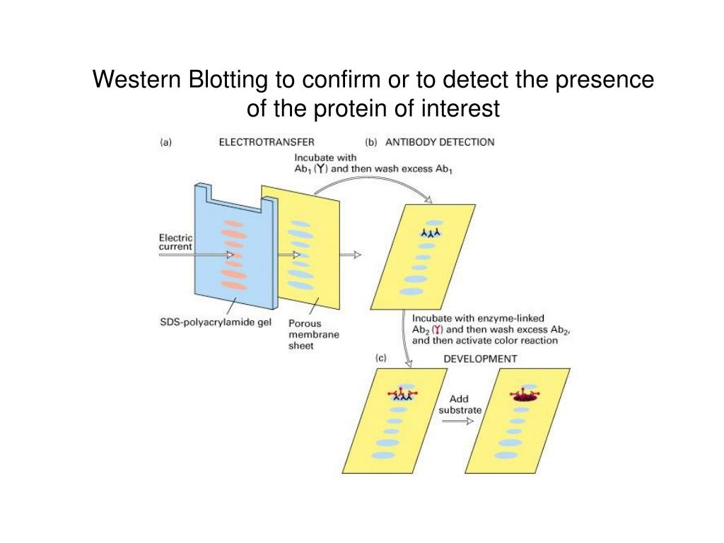 Western Blotting to confirm or to detect the presence