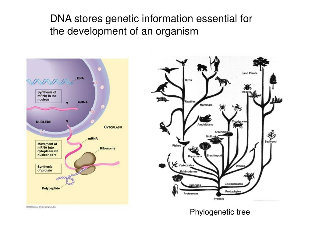 DNA stores genetic information essential for