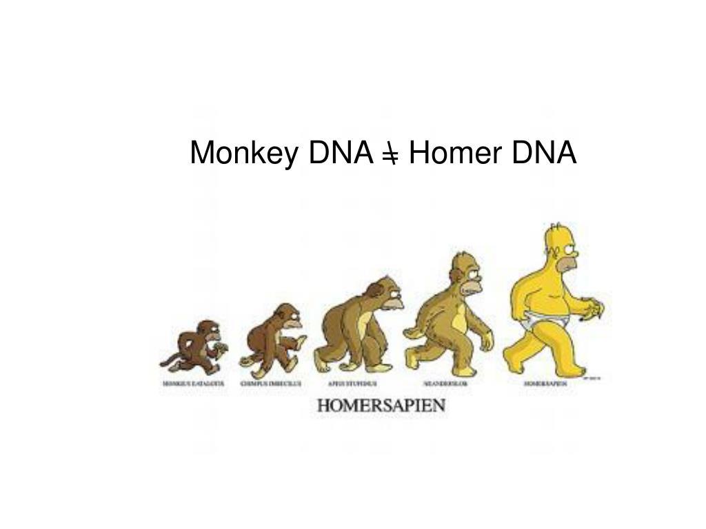 Monkey DNA = Homer DNA