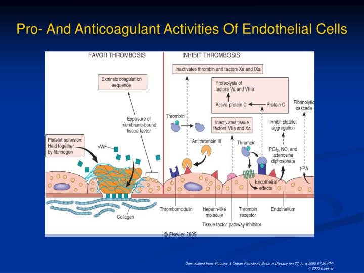 Pro- And Anticoagulant Activities Of Endothelial Cells