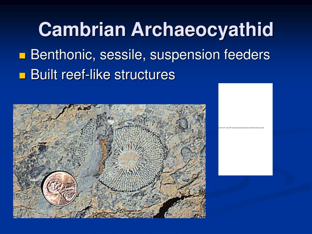 Cambrian Archaeocyathid
