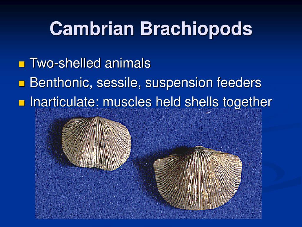 Cambrian Brachiopods