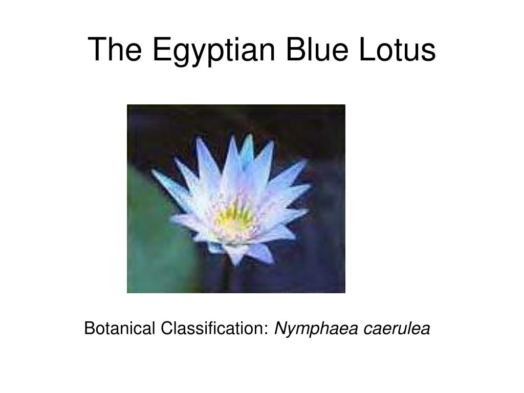 The Egyptian Blue Lotus