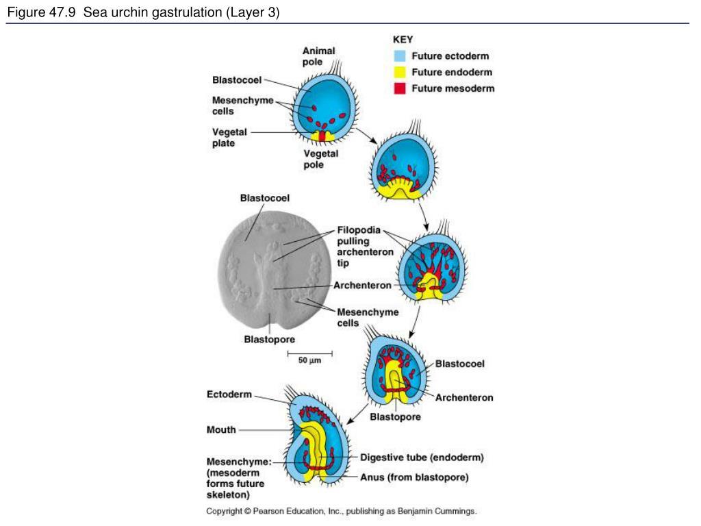 PPT - Figure 47.0 Human embryo PowerPoint Presentation ...