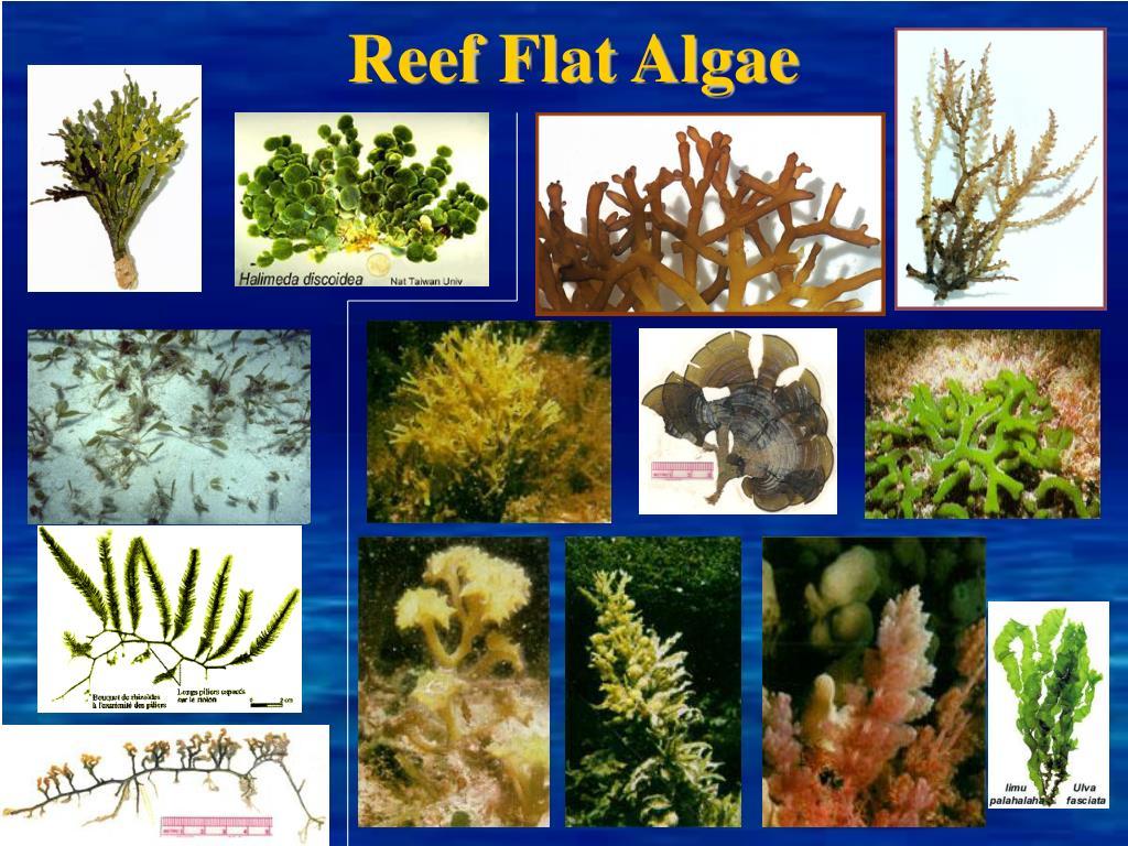Reef Flat Algae