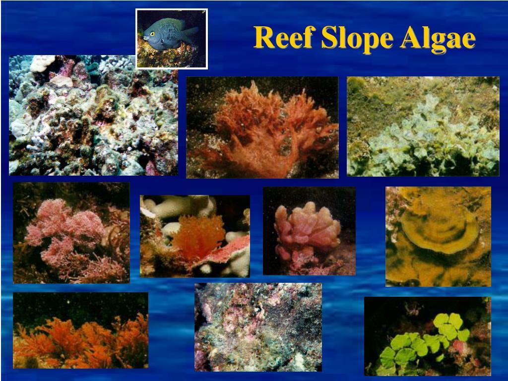 Reef Slope Algae