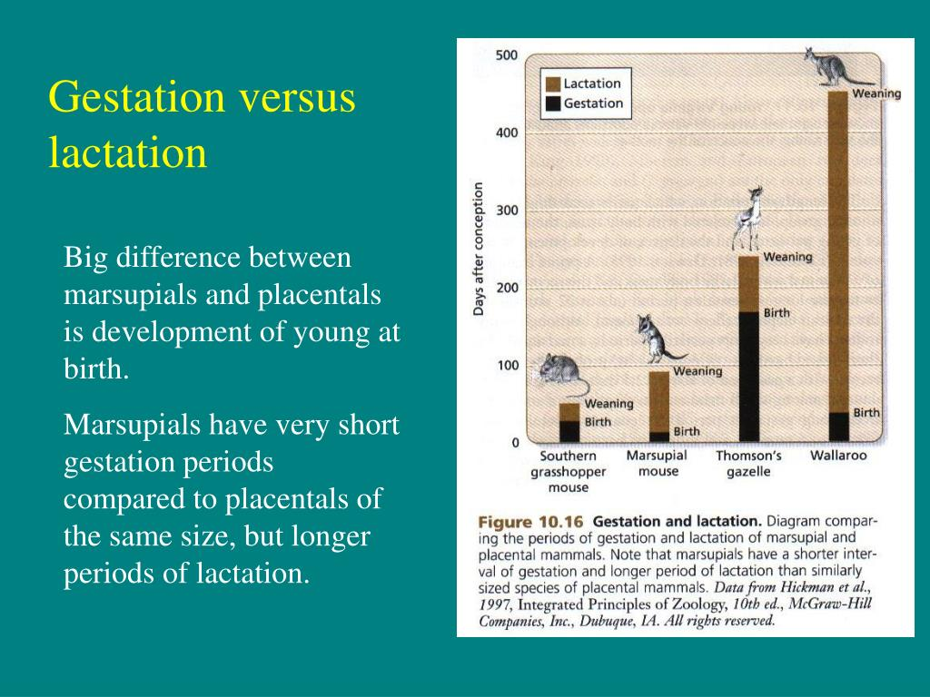 PPT - The 3 subclasses of mammals differ strikingly in ...