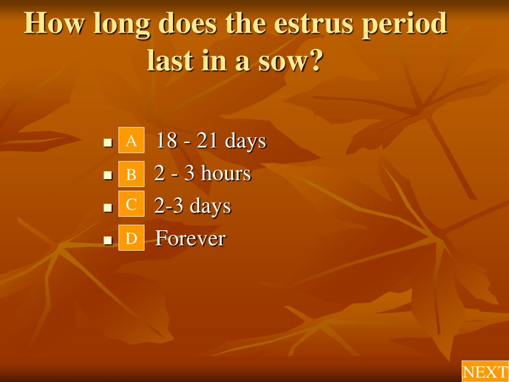 How long does the estrus period last in a sow?