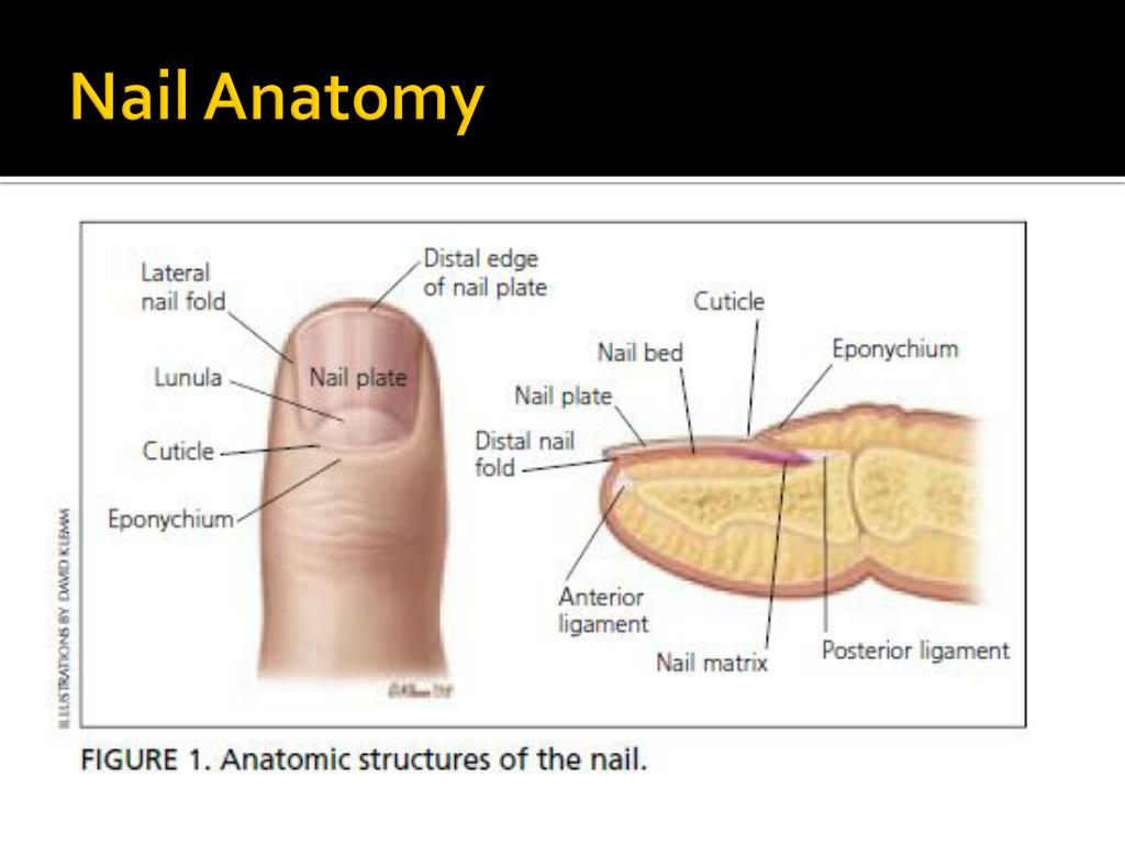 Anatomy of the fingernail