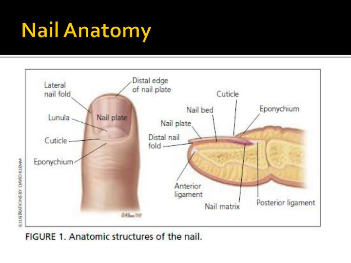 Nail plate anatomy