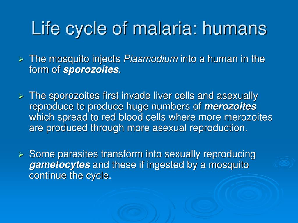 Life cycle of malaria: humans