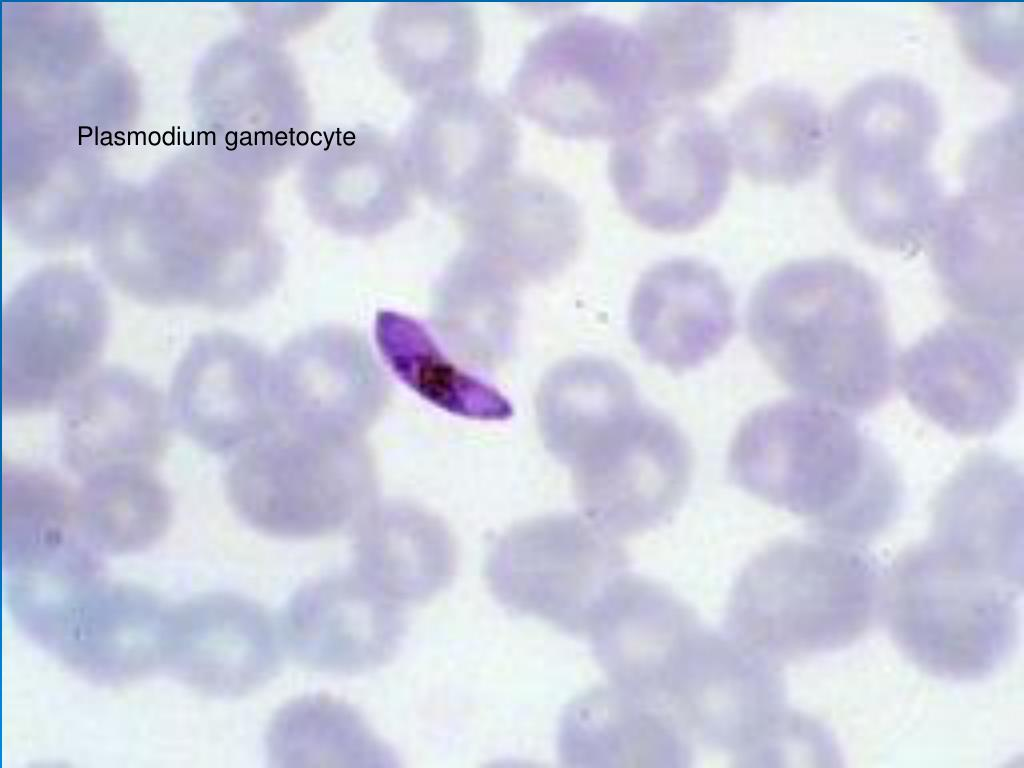 Plasmodium gametocyte