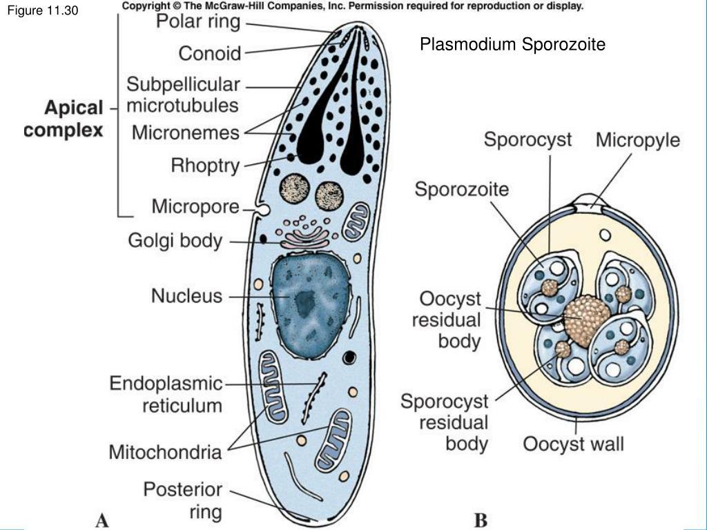 Plasmodium Sporozoite