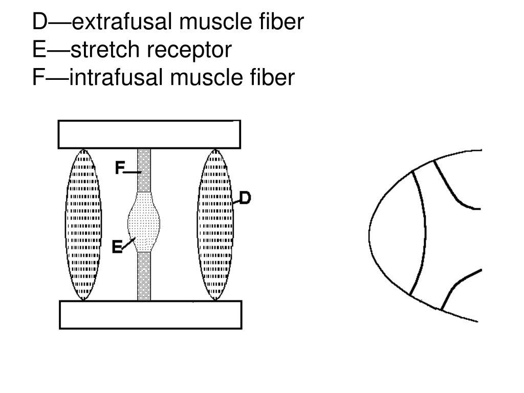D—extrafusal muscle fiber