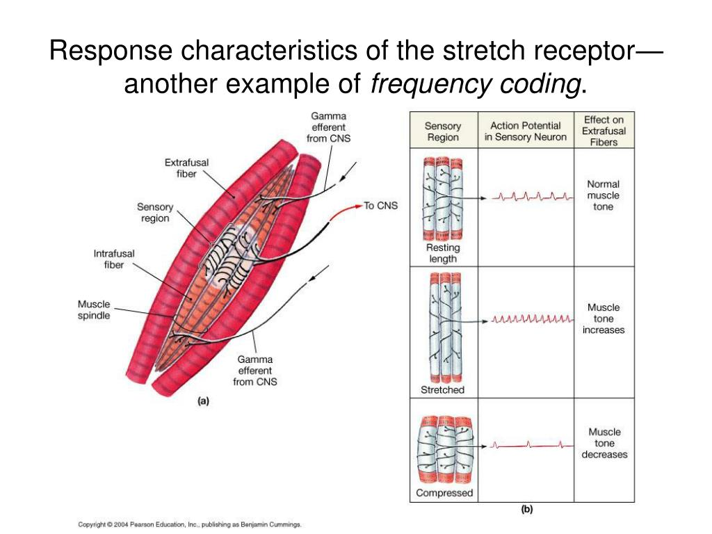 Response characteristics of the stretch receptor—another example of