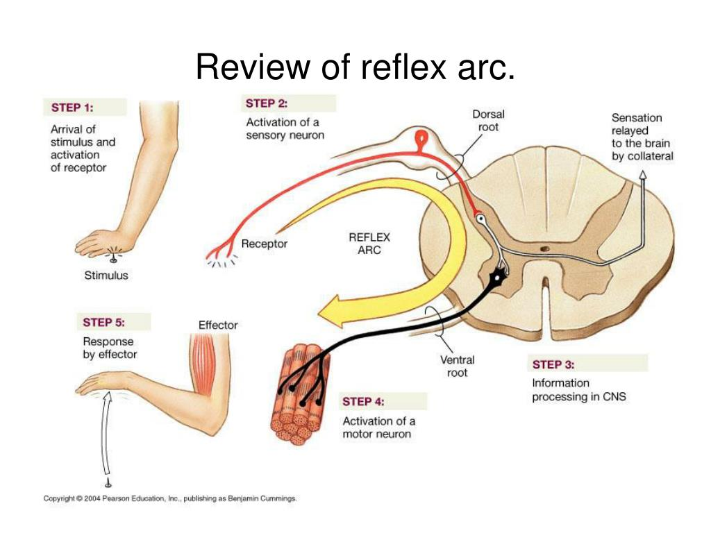 Review of reflex arc.