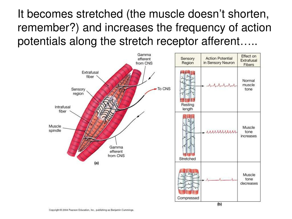 It becomes stretched (the muscle doesn't shorten, remember?) and increases the frequency of action potentials along the stretch receptor afferent…..